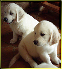 Goldtreve Puppies